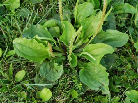 plantain1