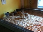 chicks in brooder