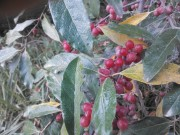 Autumn or Russian Olives