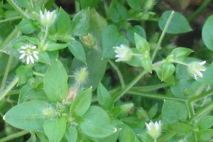 Gentle and cleansing chickweed.