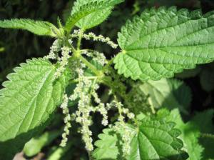 Flowering stinging nettle.