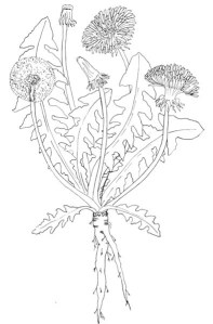 Kristine's drawing of Dandelion.