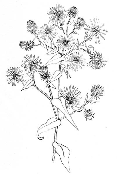 Aster Flower Line Drawing : The herb quilt and a tea party trillium center