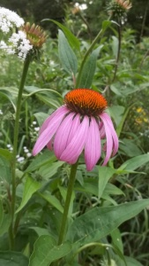 Echinacea purpurea: root powder can be used in mouth remedies!