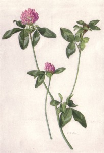 Red_Clover_(NGM_XXXI_p516)
