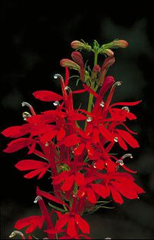 lobelia_cardinalis_-_cardinal_flower