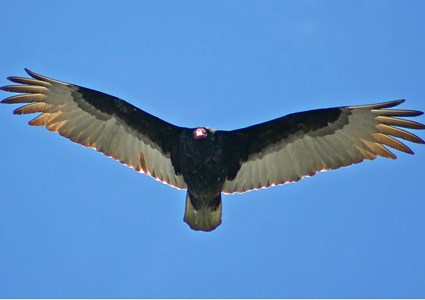 turkey_vulture_5